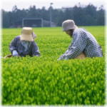 契約農家の茶摘み風景